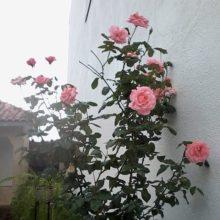 Como plantar uma muda de rosa, roseira com sucesso