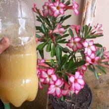 Incrivel esse liquido faz sua planta florir e vc só gasta 3 reais confiram.