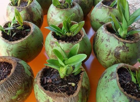 Aprenda como plantar orquídeas em coco